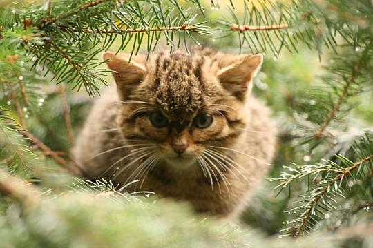 Die Ausbreitung der Europäischen Wildkatze (Felis silvestris) im Westerwald